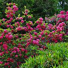 Rhododendron in the Garden by Aase
