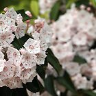 Mountain Laurel by Linda  Makiej