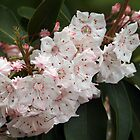 Mountain Laurel Spray by Linda  Makiej