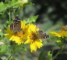 Texan Crescent Butterflies by Ingasi
