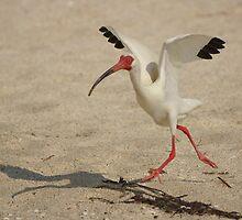 Ibis Walking by Scott Dovey