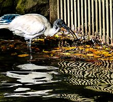 Ibis feeding in reflections on the water. by ronsphotos