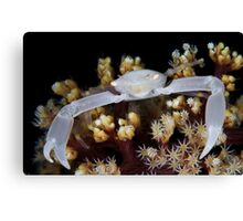 White Coral Crab Canvas Print
