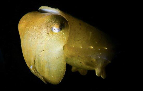 Snooted Cuttlefish by MattTworkowski