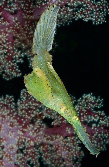 Robust Ghostpipefish by MattTworkowski