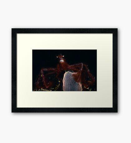 Orang-outang Crab  Framed Print