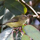 Weebill The little Australian by Rick Playle