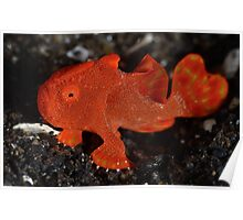 Juvenile Painted Frogfish Poster