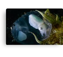 Baby Cuttle In Egg Canvas Print