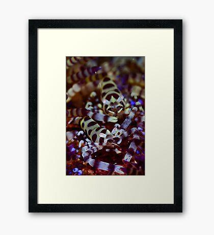 Coleman's Shrimp Framed Print