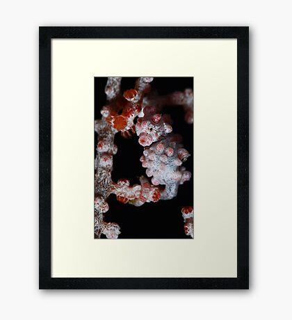 Hippocampus bargibanti Framed Print