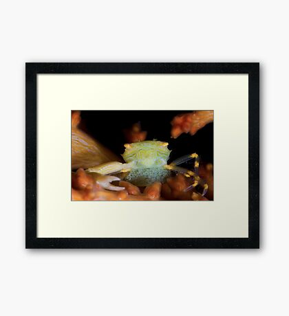 Yellow Porcelain Crab With Eggs Framed Print