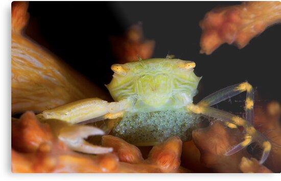 Yellow Porcelain Crab With Eggs by MattTworkowski
