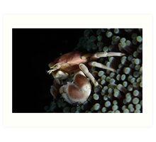 Porcelain  Crab Art Print