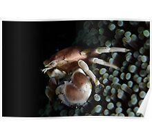 Porcelain  Crab Poster