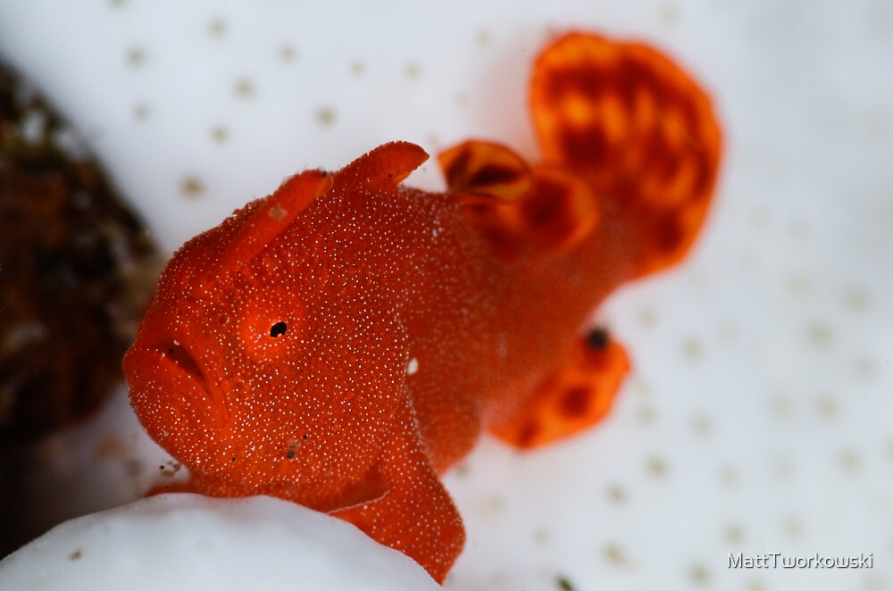 Painted Frogfish by MattTworkowski