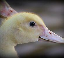 Duckling by karina5