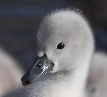 cygnet swan  by glphotos