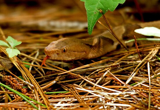 Copperhead Snake Sticking Tongue at me by imagetj