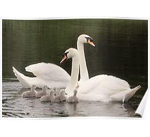 mute swans with cygnets  Poster