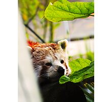 Red Panda Photographic Print