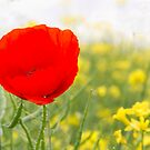 A Single Poppy by partridge