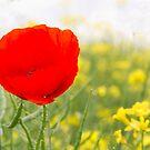 A Single Poppy by partridge