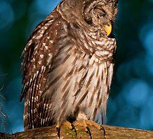 Drowsy Barred Owl at Sunrise by Joe Jennelle