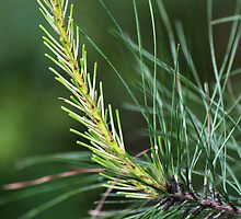 Pine's New Growth by Doug Greenwald