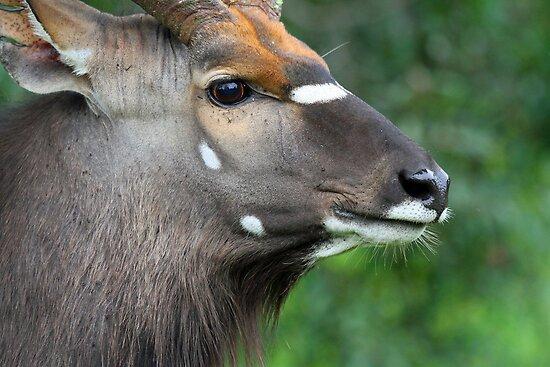 Male Nyala in profile by jozi1