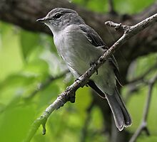 An Ashy Flycatcher by jozi1