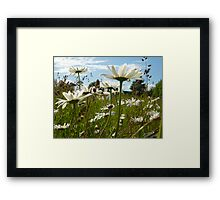 Marguerites in a meadow Framed Print