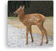 Precious Little Elk Fawn Canvas Print