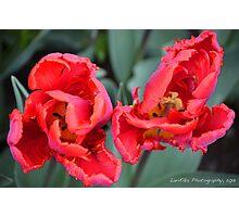 Rococo Tulips Photographic Print
