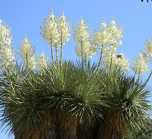 Yucca Blooms in the Treetops by Navigator