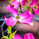 Dogwood... by Tracie Louise