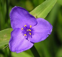 Spiderwort Beauty by lorilee