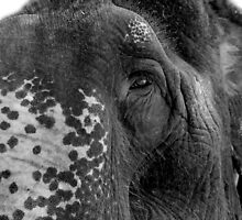 Elephant Age by Deanna Roberts Think in Pictures