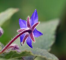 Borage Blue by Clare Colins