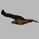 Ayres's Hawk Eagle ( Hieraaetus ayresii ) Central Serengeti Tanzania by john  Lenagan