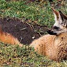 Young Bat Eared Fox - Otocyon megalotis - Southern Serengeti Tanzania by john  Lenagan