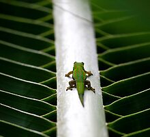 On the straight and  narrow  - Day Gecko on coconut palm frond - Mauritius by john  Lenagan