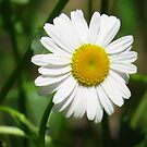 Simply Daisy by lorilee