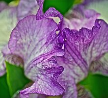 Another Iris by Carolyn Clark