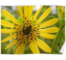 Wild Prairie Sunflower Poster