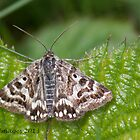 Mother Shipton Moth by Gill Langridge