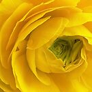 Unculus Ranunculus by paintingsheep