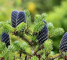Korean Fir Cones by missmoneypenny
