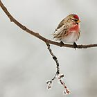 Common Red Pole (Carduelis flammea) by Marty Samis