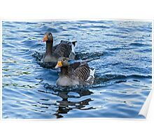 Ducks in water Poster